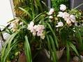 シンビジュームの開花