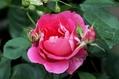 我が家の薔薇を。