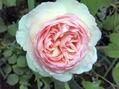 今日のバラ②白。