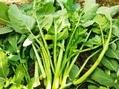 朝の野菜畑の作業