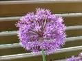 デルフィニウム、アリウムの開花