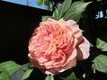 バラが咲きました~