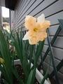 八重咲きチューリップ開花🌷