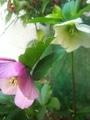 種こぼれで増えるクリロー原種