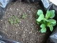 じゃが芋の芽も成長