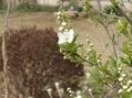 咲きましたシダレザクラ*リキュウバイ