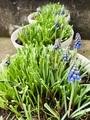 鉢植えムスカリようやく開花🎵