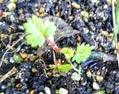 秋撒きの芽