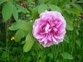 2つ目のバラ