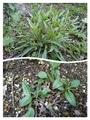宿根草の芽吹き