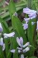 春は球根の花から~