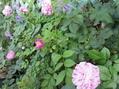 ベランダガーデン・バラが見ごろ
