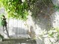 山芋が自生する庭