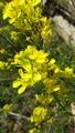 ぶらり野の花-菜の花
