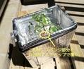 桃太郎/脇芽🍅、の定植