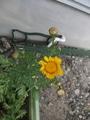 ネギ坊主、春菊のお花、枝豆の様子~