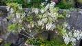 白藤が、一気に咲きだしました💖