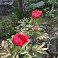 ボタン開花
