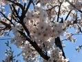 会社の桜、日和山公園の桜🌸