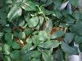 バラの挿し木
