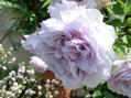 本日のバラ