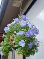 青い花も♡