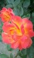 アンネのバラが咲いてます