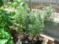 ローズマリーの植え替え