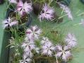 カワラナデシコ(絞り咲き)1