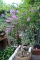 石付け庭フジの開花
