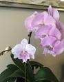 令和は胡蝶蘭で始めます。