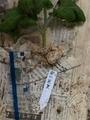 大菊の挿し芽の鉢上げ