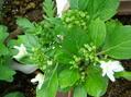 小菊の挿し芽とアジサイの挿し木