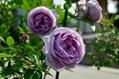 紫系のバラが満開になってきました