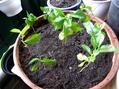 種パットと珈琲の木