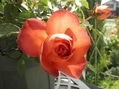 我が家の薔薇♪