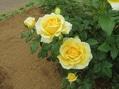 素敵なバラを発見!