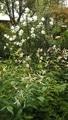 クロード・モネと白い花たち💮