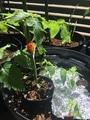 トマトも支柱へ固定