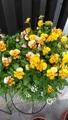 我が家の花🌼黄色編
