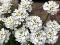 古い花、新しい花