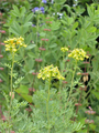 Geranium Pyrenaicum 'Bill Wallis