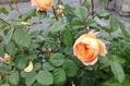 うちのバラも咲いたけど・・・。