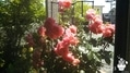 ニゲらが咲きました(^_-)-☆