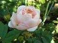 今日の薔薇①(^^♪