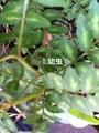 山椒の葉に蝶の幼虫