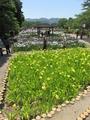 賀茂の菖蒲園