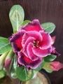 天空のバラ
