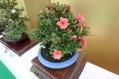 咲くやこの花館の散歩道23(サツキ展)