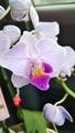 品種不明の胡蝶蘭